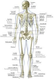 This free body surface area calculator estimates the surface area of a person's body based on body weight and height. Https Www Uc Edu Content Dam Uc Ce Images Olli Page 20content The 20skeletal 20system Pdf
