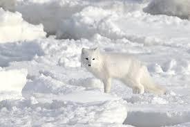 Imagini pentru lupi albi