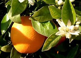 Resultado de imagen para variedades de mandarinas