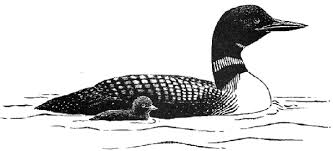 Image result for loon