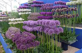 how to plant a flower garden. A Display At The Chelsea Flower Show Shows Diversity Of Allium Genus. How To Plant Garden R