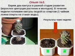 Дипломная работа Проектная деятельность школьников по направлению  Опыт №3 Берем два кактуса в разной стадии развития взрослое цветущее расте