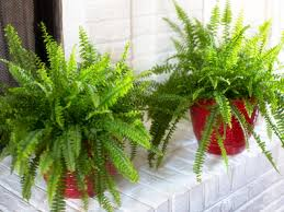 Button Fern Light Requirements The Best Ferns To Grow Indoors Hgtv