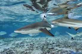 ฉลามหูดำ สามารถพบได้ทั่วไปตามแถบชายฝั่งที่มีกระแสน้ำอุ่นทั่วโลก