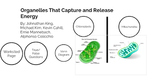 Chloroplast Mitochondria Venn Diagram Organelles That Capture And Release Energy By Kevin Cahill On Prezi Next
