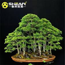 office bonsai tree. best bag perennial juniper bonsai tree seeds potted purify the air absorption radiation pine diy home garden under 956 dhgatecom office