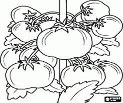 Kleurplaat Tomaat Plant Met Haar Vruchten De Tomaten Kleurplaten