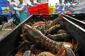 lobsters are processed at the sea hag seafood plant in st george in 2016 the maine lobster industry s value and volume fell sharply in 2017