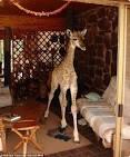 Жираф  в доме 109