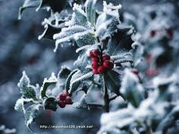 christmas winter backgrounds for desktop. Fine Christmas Christmas Holly Plant Free Desktop Background  Wallpaper Image And Winter Backgrounds For Desktop P