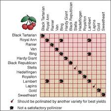 Fruit Tree Pollination Chart Cherry Pollination Not All Varieties Of Sweet Cherry Will
