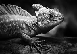 black and white reptile photography. Intermediate Reptiles In Black And White 2011 Int Reptile Photography