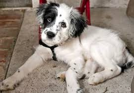 golden retriever dalmatian mix. Simple Dalmatian Golden Retriever Dalmatian Mix Buzz The Border Collie Puppies Daily  Puppy Intended E