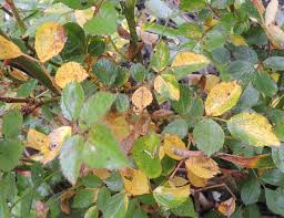 Reasons For Rose Leaves Turning Yellow - Gardening Know How