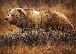 Grizzly Bear Wikipedia