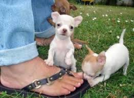 tamed tea cup size chihuahua puppies