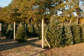 Holiday Christmas trees being sold on a lot Trees for Sale at State Farmers Market - South Carolina
