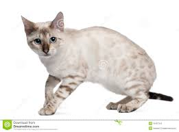 white bengal cat. Plain Cat Download Bengal Cat 6 Months Old Standing Stock Photo  Image Of  Horizontal Throughout White Cat