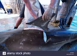 great hammerhead shark caught. Beautiful Hammerhead Long Line Shark Fisherman Have Fins Of Great Hammerhead Caught On  Long  Stock With Caught M