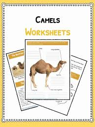 Animal Flow Chart Ks2 Camel Facts Information Worksheets For Kids Teaching
