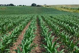 Image result for summer days in the country corn field