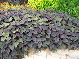 purple sweet potato plant. Plain Sweet Picture Of Ipomoea Batatas U0027Sweet Caroline Sweetheart Purpleu0027 Sweet  Purple Potato For Plant 6
