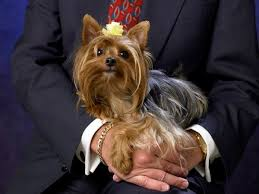 yorkies differ in size but only one breed remains