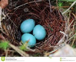 Light Blue Eggs In Nest Bright Blue Eggs In The Nest Stock Photo Image Of