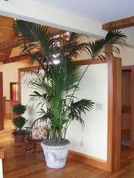 kentia palm tree home interior design howea forsteriana bonsai tree interior