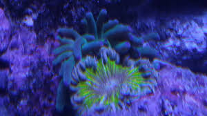 Anemone Compatibility Spreadsheet Reef2reef Saltwater And