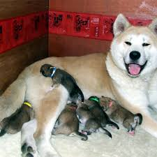 akita puppies remend a lifetime of learning
