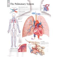 Human Body Systems Chart The Pulmonary System Chart