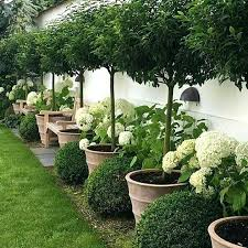 beautiful trees in pots lining a green space lawn or turf outdoor garden inspiration patio containers
