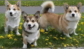 Вельш-<b>корги</b> пемброк: все о собаке, фото, описание <b>породы</b> ...