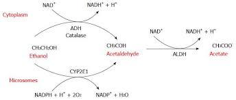Alcohol Metabolism Chart Pathogenesis Of Alcoholic Liver Disease Role Of Oxidative