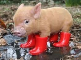 real baby farm animals. Contemporary Baby Teacup Pig Intended Real Baby Farm Animals