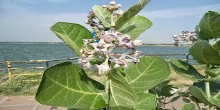 Image result for आक-अर्क के पौधे