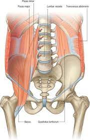 Rectus abdominus muscle is divided in bellies by tendinous intersections. Posterior Abdominal Wall Questions Flashcards Quizlet