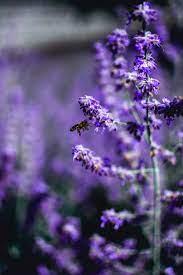 รูปภาพ : พืชดอก, สีม่วง, ภาษาอังกฤษลาเวนเดอร์, ปลูก, พฤกษศาสตร์,  ฤดูใบไม้ผลิ, lavandula dentata, ปราชญ์ทั่วไป, nepeta, โรงงานประจำปี,  buddleia, ครอบครัวม่วง, ครอบครัว verbena, ดอกไม้ป่า, พืชยืนต้น 4000x6000 -  - 1525191 - ภาพ สวย ๆ - PxHere
