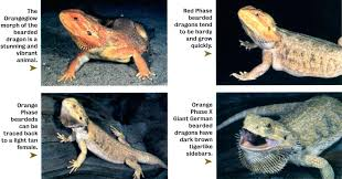 lights for bearded dragon we received reports from customers that some of the baby bearded dragons