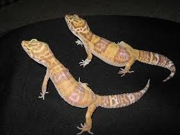 Leopard Gecko Age Chart Leopard Gecko Age Chart