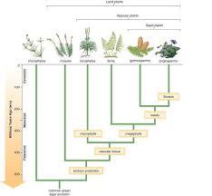 Venn Diagram Of Vascular And Nonvascular Plants Lab Ch 16 Non Vascular Plants And Seedless Vascular Plants