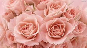 light pink rose flowers wallpaper. Light Pink Roses Background Tumblr Intended Rose Flowers Wallpaper
