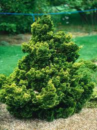Choosing Conifers   HGTV