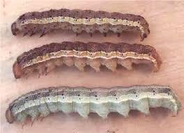 Corn Earworm Control Corn Earworm Unh Extension