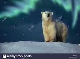 Bear Claw Lights Polar Bear Northern Lights Hudson Bay Manitoba Canada Stock