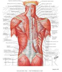 (spanish version) the human muscular system anatomy chart is a gorgeous yet complete guide to the human muscular system, displaying a human figure from front and back. Muscles Of Back Superficial Layers Superficial Muscles Posterior Neck And Back