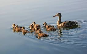 nature birds family ducks duckling baby