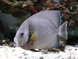 Esoftalmia dei pesci marini zanclus.it