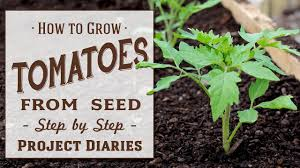 Tomato Seed Growth Chart How To Grow Tomatoes From Seed A Complete Step By Step Guide
